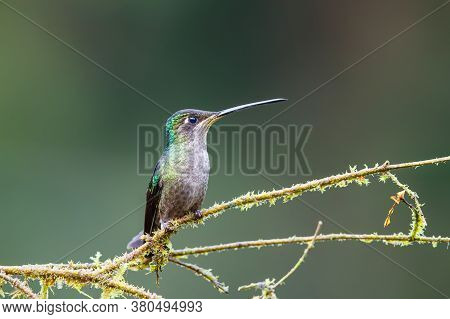 Magnificent Hummingbird (eugenes Fulgens) Female Sitting On A Branch In The Rainforest In San Gerard