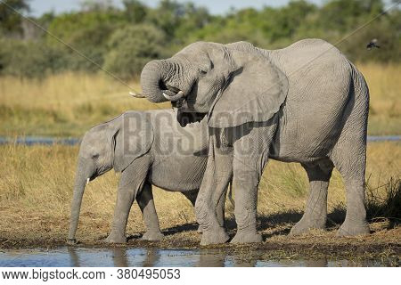 Two Juvenile Elephants Standing At River's Edge Drinking Water In Moremi Okavango Delta Botswana