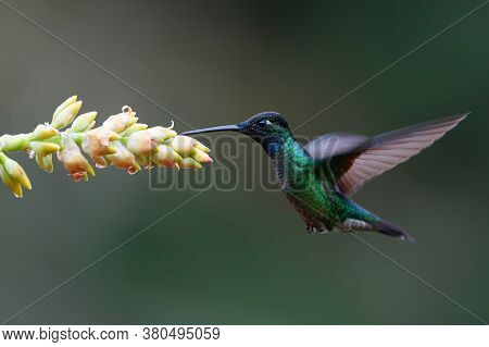 Magnificent Hummingbird (eugenes Fulgens) Flying Next To A Bromelia To Get Nectar In The Rainforest
