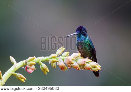 Magnificent Hummingbird (eugenes Fulgens) Male Sitting On A Bromelia To Get Nectar In The Rainforest