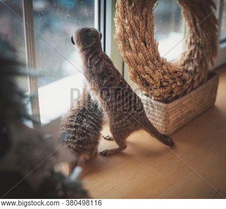 The Meerkats Or Suricates In Front Of Window