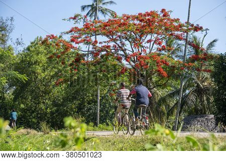 Black African Boys On Bicycles In Front Of African Umbrella Shape Acacia Delonix Royal Tree Near The
