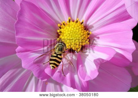 Hoverfly sitting on a flower.