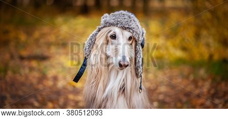 Dog, Afghan Hound In A Funny Fur Hat, Against The Background Of The Autumn Forest. Concept Clothes F