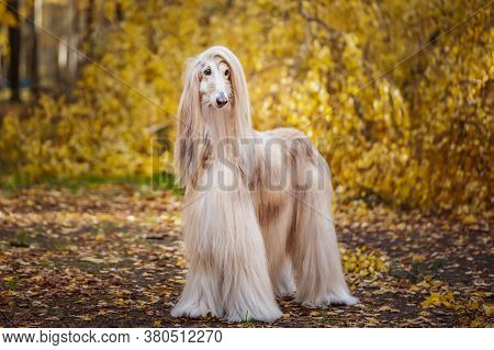 Dog, Gorgeous Afghan Hound, Full-length Portrait, Against The Background Of The Autumn Forest, Space
