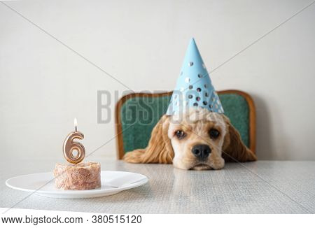 American Cocker Spaniel Dog Birthday And Holiday Treat. Space For Text.