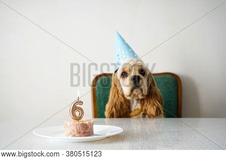 Birthday Dog. American Cocker Spaniel And Holiday Treat. Space For Text.