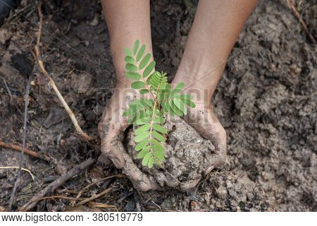 Two Hand Holding Young Seedling Agasta, Sesban, Vegetable Humming Bird, Humming Bird Tree, Butterfly