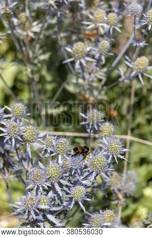 A Close Up View Of A Bumble Bee Collecting Pollen On A Alpine Sea Holly