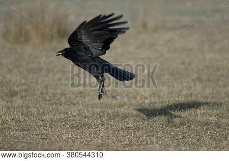 Carrion crow Corvus corone taking flight with corn grains in its beak. Gallocanta Lagoon Natural Reserve. Aragon. Spain.