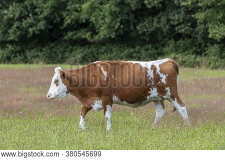 Frisian Red-and-white Dutch Cow In A Summery Green Meadow