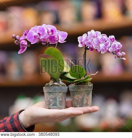 Small Purple Moth Orchid Flower, Phalaenopsis Plant On The Hand