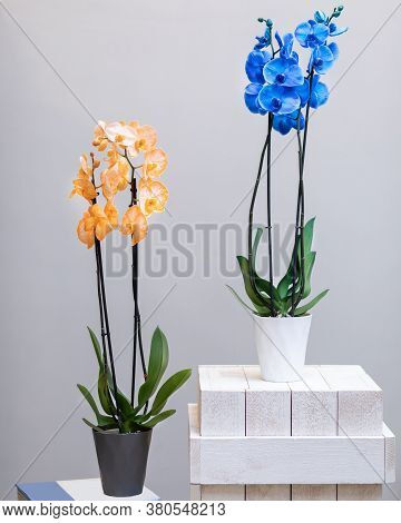 Yellow And Blue Phalaenopsis, Moth Orchid Flowers In The Pot
