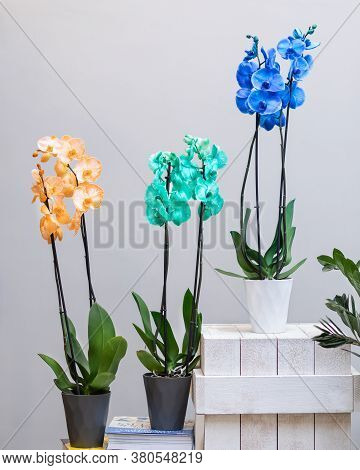 Yellow, Green And Blue Phalaenopsis, Moth Orchid Flowers In The Pot