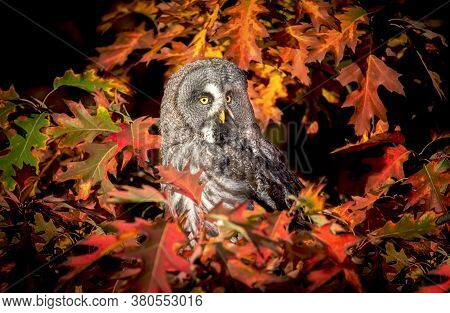 Strix Nebulosa Great Grey Owl In Autumn Colors, Great Grey Owl In Red Leaves, Attractive Owl Portrai