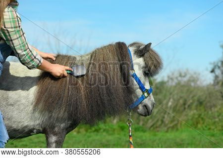 The Caucasian Young Woman Is Holding The Comb In Her Hand And Combing The Long Mane Of Her Grey Pony