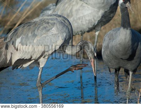 Juvenile Common Crane Scratching In A Lagoon.
