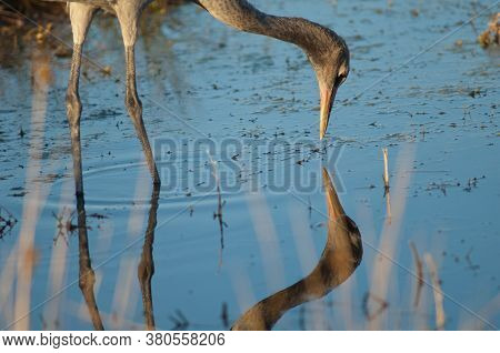 Juvenile Common Crane Reflected In A Lagoon.