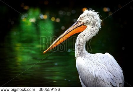 Brown Pelican Pelecanus Occidentalis Shaking Water Off Feathers With Flapping Wings, Drops Of Water