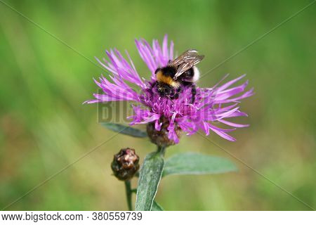 Summer Sketch: A Furry Striped Bumblebee Sits On A Pink Burdock Flower