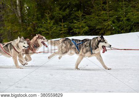 Running Husky Dog On Sled Dog Racing. Winter Dog Sport Sled Team Competition. Siberian Husky Dog In