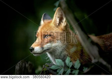Close Up Of A Red And White Fox, Side View, Detail Of The Head Of A Fox On The Hunt.