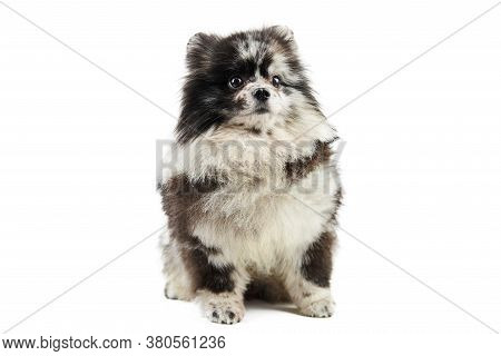 Merle Pomeranian Puppy Spitz, Isolated. Cute Pomeranian Merle Color, White Background. Family Friend