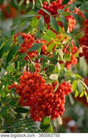 Sorbus Aucuparia Ashberry Rowan Tree Mountain Ash S. Sorb Service Shrub, Red Ripe Fruits, Leaves, Br