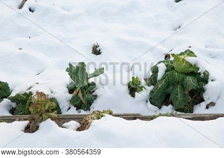Cabbages Brassica oleracea covered with snow. Sabinanigo Alto. Huesca. Aragon. Spain.