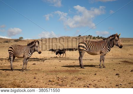 Two Beautiful Hartmann's Mountain Zebras Stands In Its Natural Habitat. Wildlife Safari In South Afr