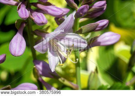 Close Up Hosta Flower In The Garden.