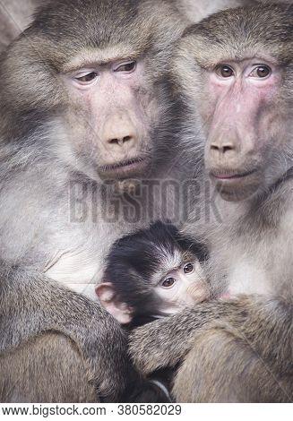 A Closeup Portrait Of A Colorful Yellow White Grey Monkey Ape Sacred Baboon Papio Hamadryas Primate
