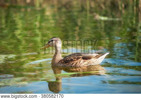 Birds And Animals In Wildlife Concept. Amazing Mallard Duck Swims In Lake Or River With Blue Water U