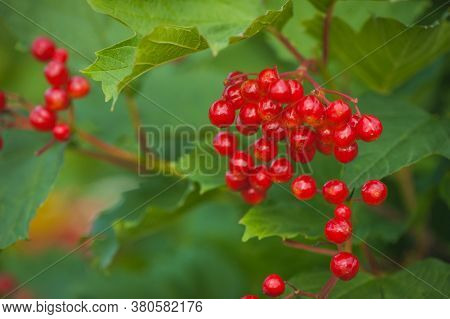 Red Ripe Berries Of Viburnum. A Branch Of Red Viburnum In The Garden Or In The Forest. Autumn Berry,