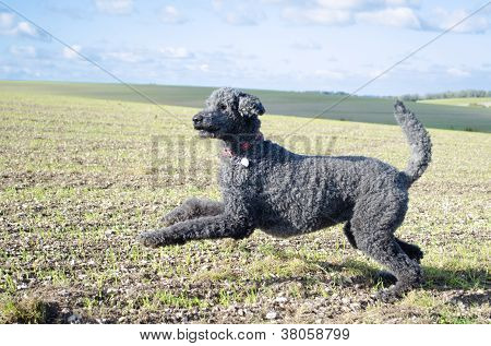 Pouncing Poodle Against Outdoor Landscape
