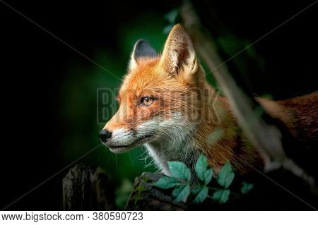 Close Up Of A Red And White Fox.
