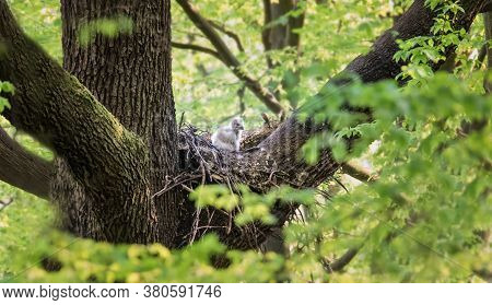 Eurasian Eagle Owl Sitting On A Nest In The Tree Crown With Cubs And Guardian