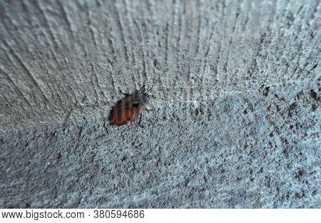 Large American brown cockroach. Large brown roach. American Cockroaches (Periplaneta americana)