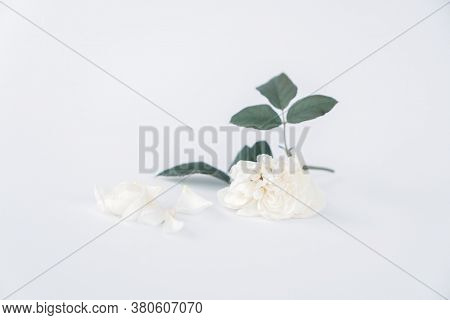 White rose isolated on white background.