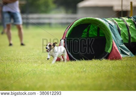 Jack Russel Terier In Agility Tunel On Ratenice Competition. Amazing Day On Czech Agility Competitio