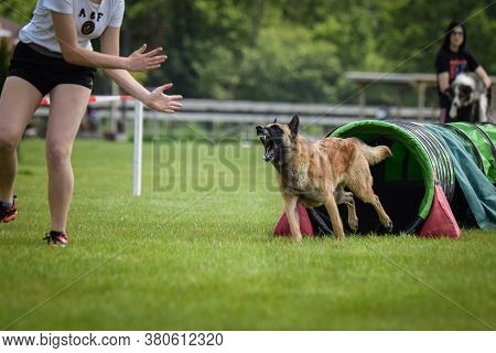 Belgian Malinois In Agility Tunel. Amazing Day On Czech Agility Competition. They Are Middle Expert