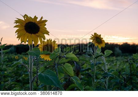 Three Back Lit Sunflowers On A Green Field During Sunset