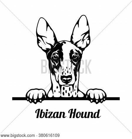 Peeking Dog - Ibizan Hound Breed - Head Isolated On White