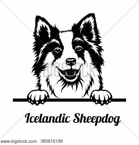 Peeking Dog - Icelandic Sheepdog Breed - Head Isolated On White