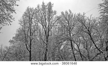 Frozen trees landscape
