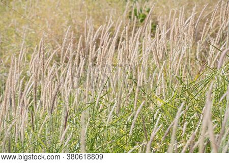 Glade Of Beige And Pale Violet  Decorative Fluffy Spikelets  On Blurred Floral Background. Blurred F