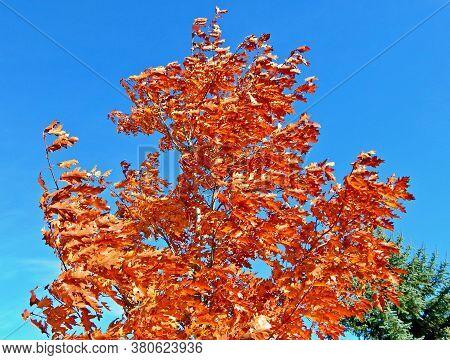 Oak in the Breeze - An oak tree on a windy autumn day - Redmond, OR