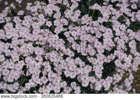 Hundreds Of Light Pink Flowers Of Dianthus Deltoides In May