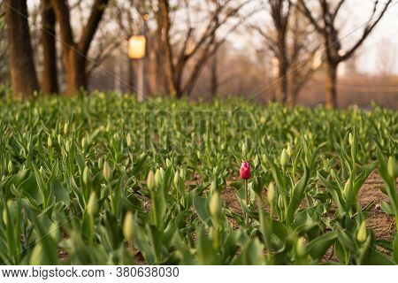 One Pink Tulip Surrounded By Young Tulip Seedling Growing In Flower Fieldone Pink Tulip Surrounded B