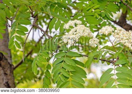 Beautiful Delicate Inflorescence Of Rowan White Flowers With Yellow Stamens With Green Leaves Are On